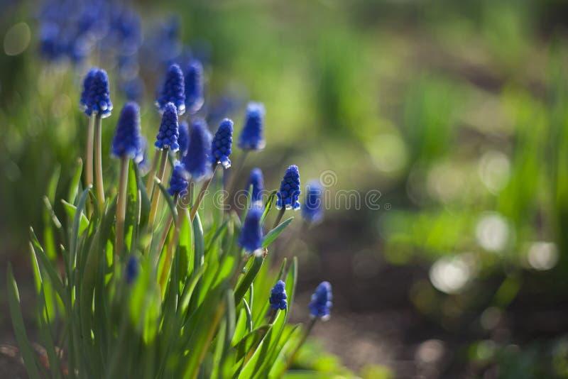 Fiori blu di Hyacinthus del Muscari con il primo piano delle foglie verdi che cresce nel giardino Lo sfondo naturale immagini stock