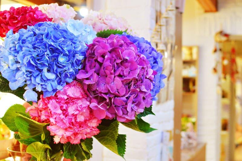 Fiori blu e rosa del primo piano dell'ortensia L'ortensia naturale fiorisce il fondo immagini stock libere da diritti