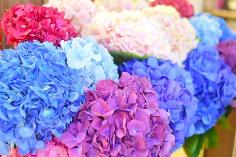 Fiori blu e rosa del primo piano dell'ortensia L'ortensia naturale fiorisce il fondo immagine stock