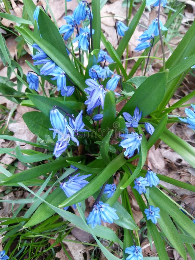 Fiori blu luminosi immagine stock