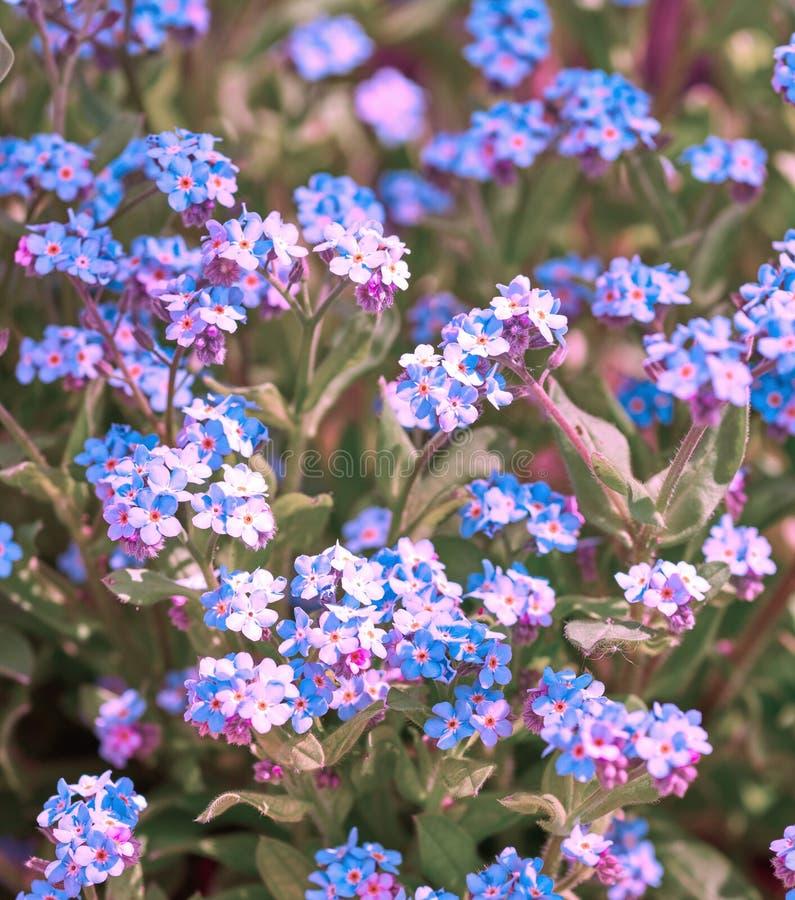 Fiori blu nel giardino fotografia stock