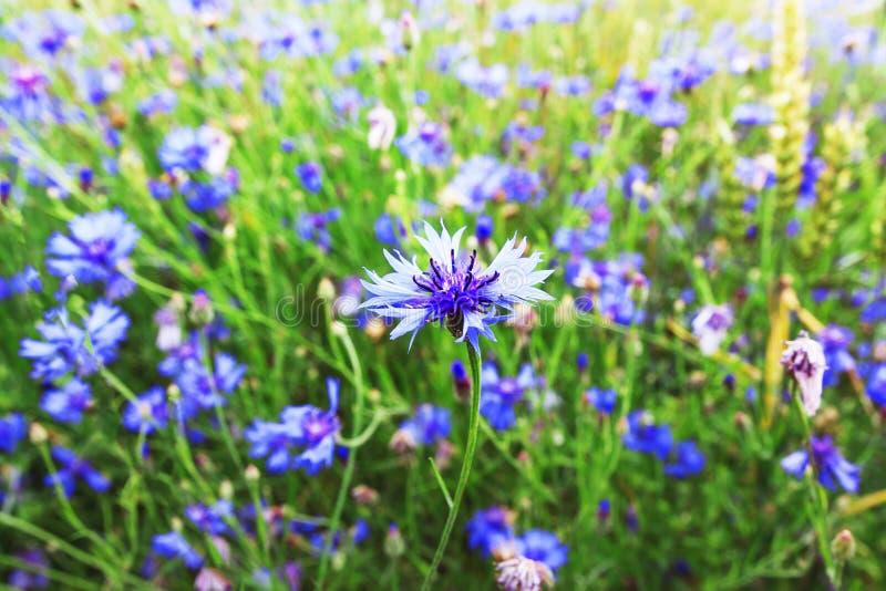 Fiori blu sul prato verde di estate Fondo del giacimento della primavera Pianta naturale sul prato selvaggio immagini stock libere da diritti