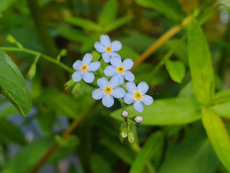 Fiori blu svegli in fioritura immagini stock