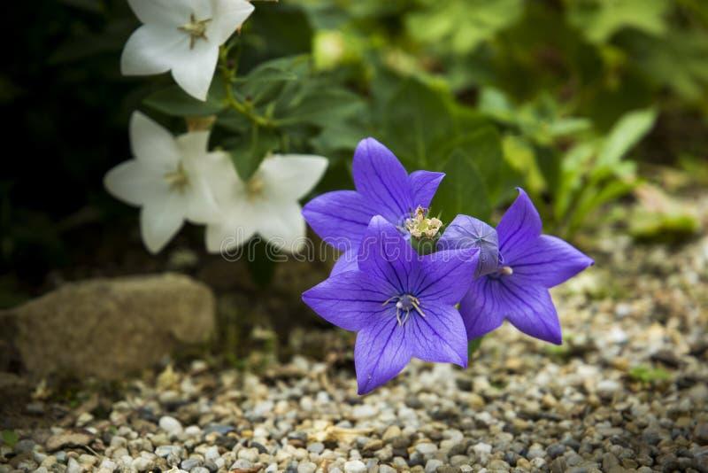 Fiori blu in un giardino di estate fotografia stock