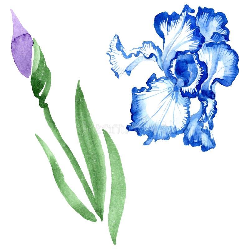 Fiori botanici floreali dell'iride blu Insieme dell'illustrazione del fondo dell'acquerello Elemento isolato dell'illustrazione d illustrazione vettoriale
