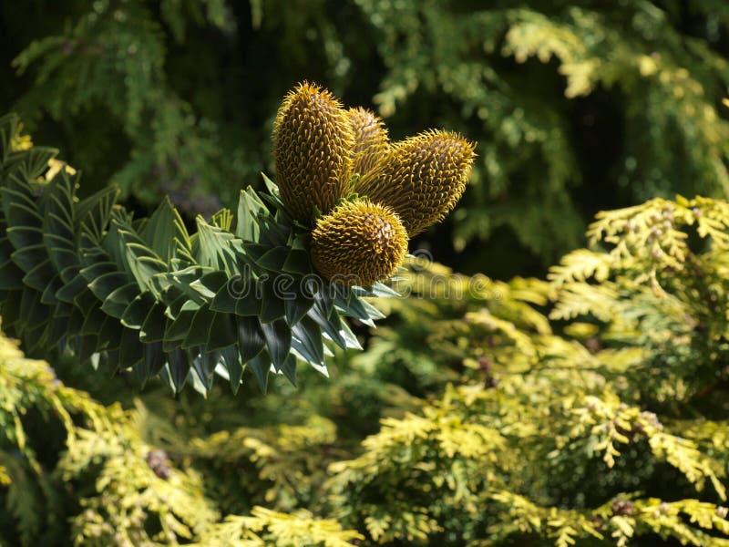Fiori che formano i coni su un albero dell'araucaria fotografia stock