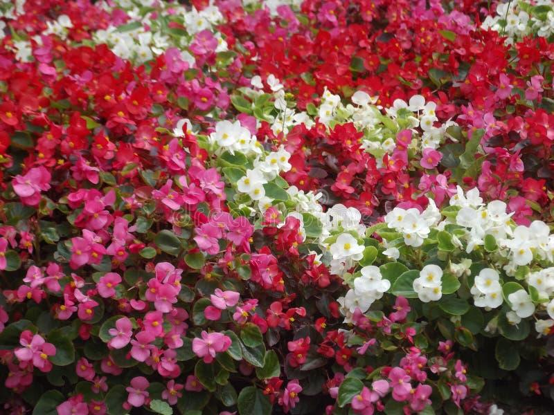 Fiori colorati - bianco rosa fotografie stock libere da diritti