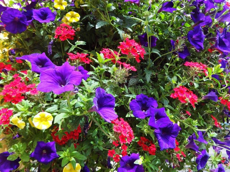 Fiori colorati multiplo che fioriscono insieme fotografia stock libera da diritti