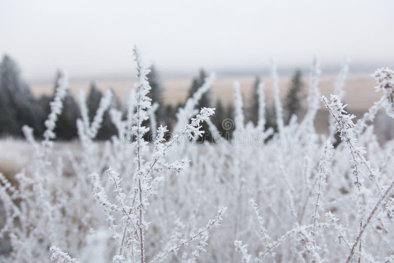 Fiori congelati salvia russa fotografia stock libera da diritti