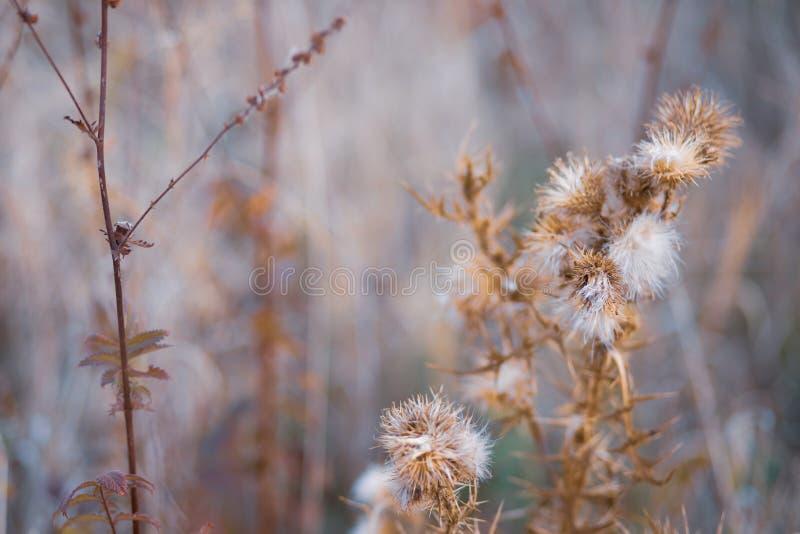 Fiori coperti di spine asciutti in un campo in autunno Fondo vago natura thistle Profondit? del campo poco profonda Immagine toni fotografie stock
