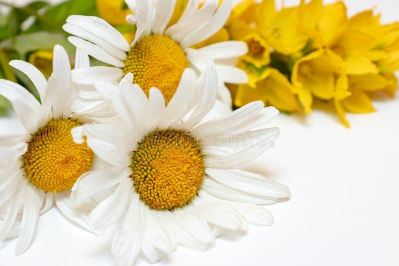 Fiori da campo di prato Chamomile, Daisy e Lysimachia gialla su fondo bianco immagini stock libere da diritti
