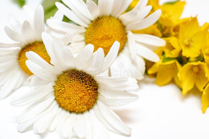 Fiori da campo di prato Chamomile, Daisy e Lysimachia gialla su fondo bianco fotografie stock libere da diritti