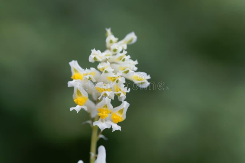 Fiori dei capnoides del Corydalis fotografie stock libere da diritti