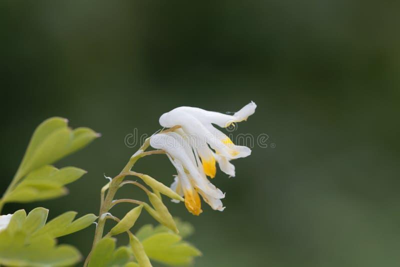 Fiori dei capnoides del Corydalis fotografia stock libera da diritti