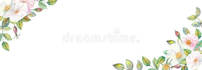 Fiori dei cinorrodi bianchi, frutti rossi, foglie verdi, la composizione nel telaio dorato geometrico Manifesto del fiore, invito illustrazione di stock