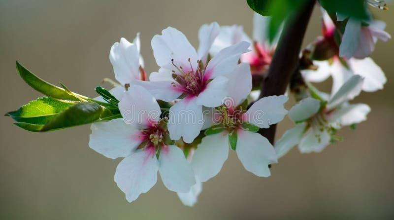 Fiori dei fiori di prunus dulcis del fiore della mandorla fotografia stock libera da diritti