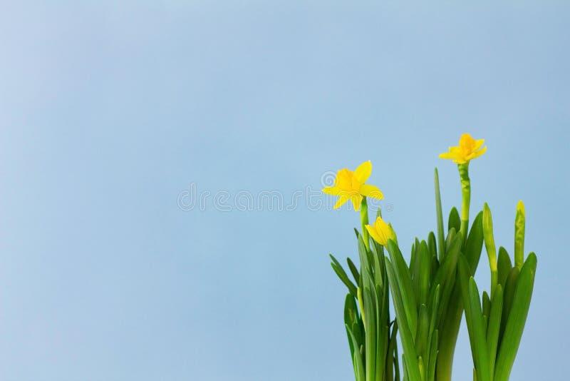 Fiori dei narcisi gialli su fondo blu pastello, horisontal con lo spazio della copia Concetto della primavera, di festa della mam fotografia stock