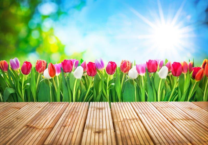 Fiori dei tulipani della primavera fotografia stock