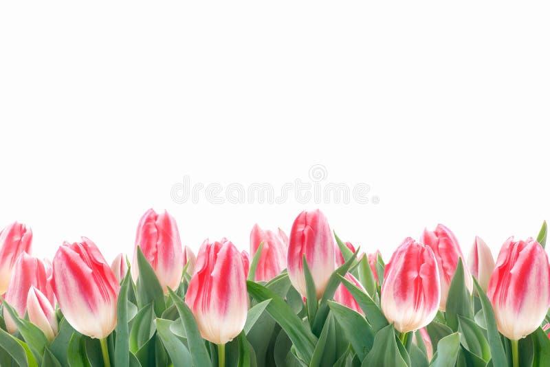 Fiori dei tulipani della primavera in erba verde immagine stock libera da diritti