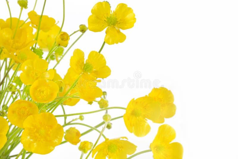Fiori del acris del Ranunculus immagini stock libere da diritti