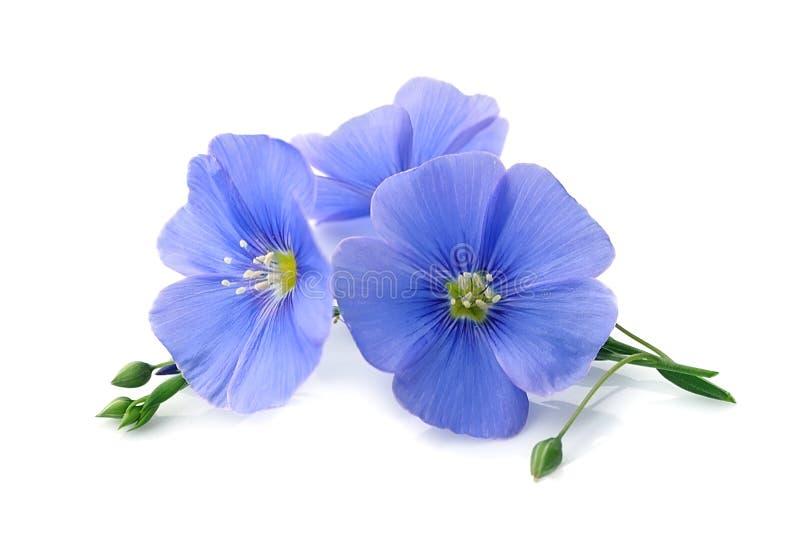 Fiori del blu del lino immagini stock libere da diritti
