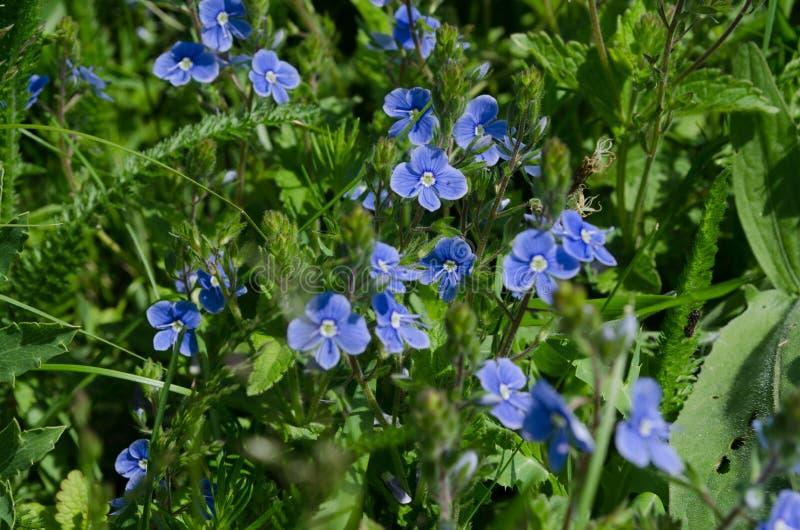 Fiori del blu della primavera immagini stock libere da diritti