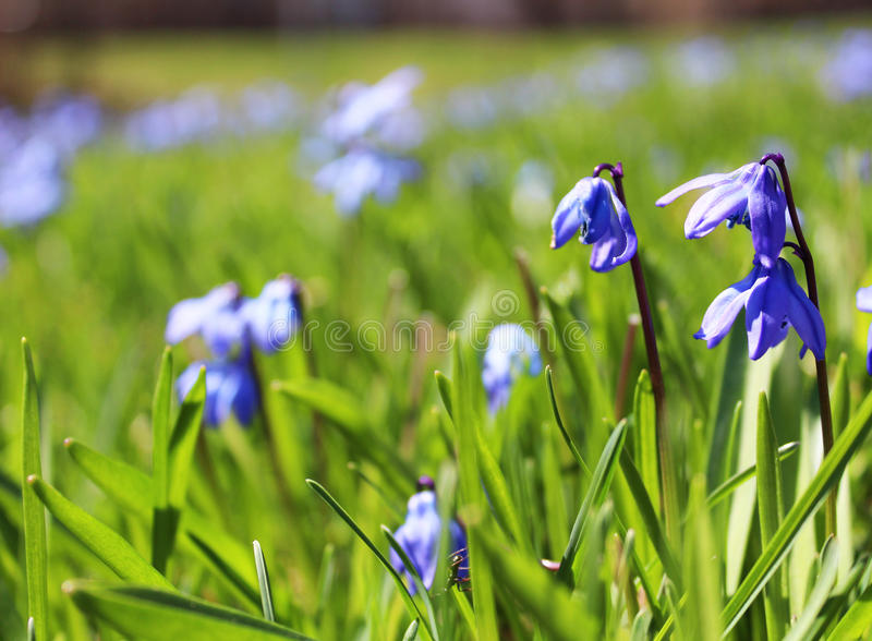 Fiori del blu di primavera fotografia stock libera da diritti
