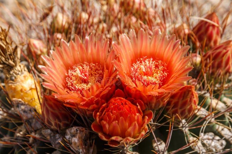 Fiori del cactus di barilotto dell'Arizona fotografia stock libera da diritti