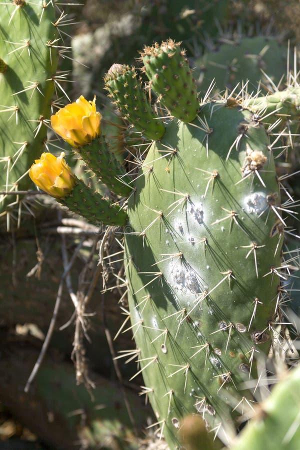 Fiori del cactus infestati con la cocciniglia fotografia stock libera da diritti