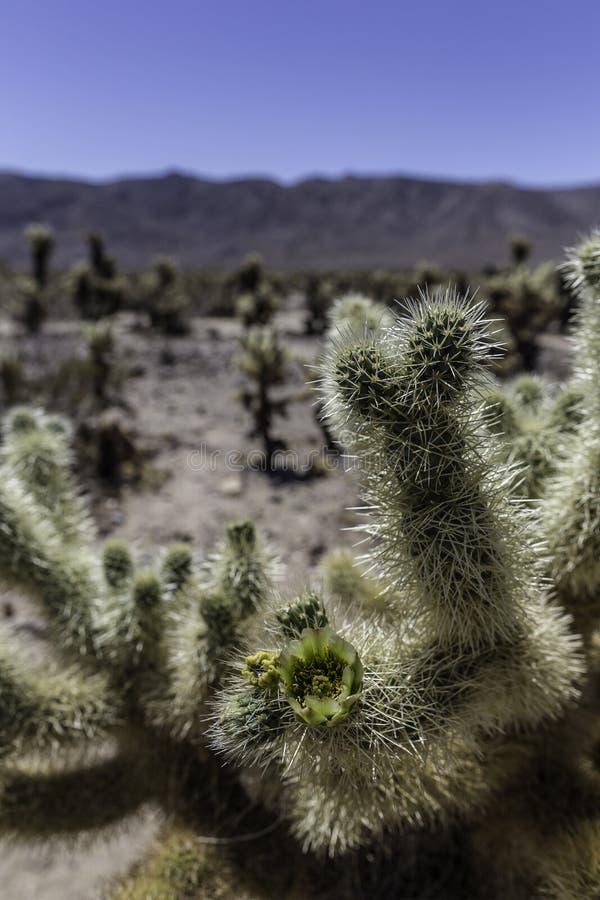 Fiori del cactus, Joshua Tree California immagine stock libera da diritti