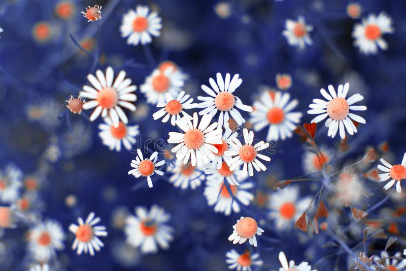 Fiori del campo della camomilla Fiori di estate Bello fondo del prato Colore variabile fotografia stock
