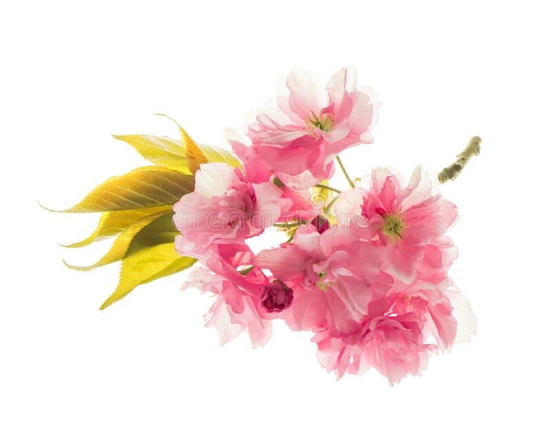 Fiori del ciliegio di sakura isolati su bianco Piovuto appena sopra immagini stock