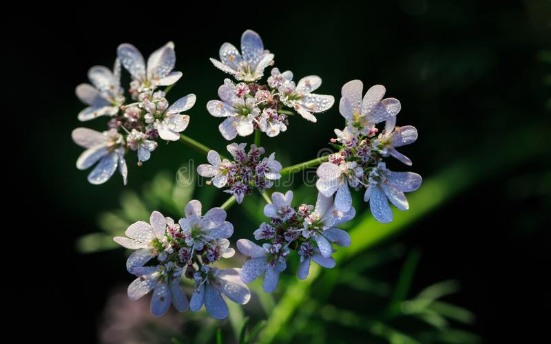 Fiori del coriandolo nel giardino fotografia stock