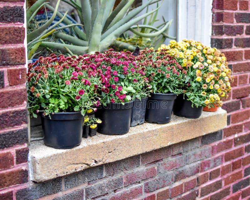 Fiori del crisantemo sul davanzale della costruzione di mattone fotografia stock