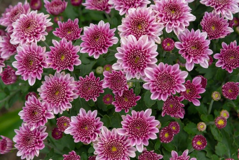 Fiori del crisantemo in un giardino fotografia stock