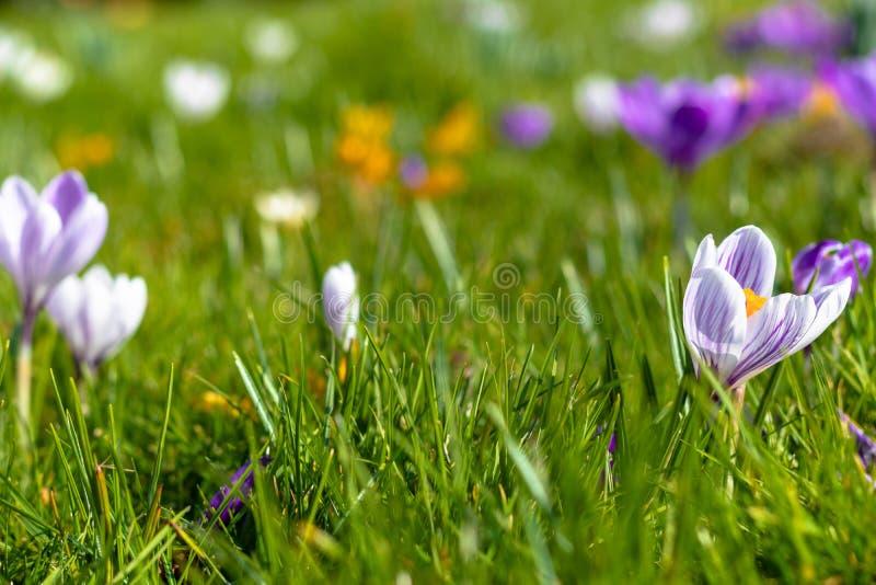 Fiori del croco in fioritura, fondo vago con lo spazio della copia fotografia stock