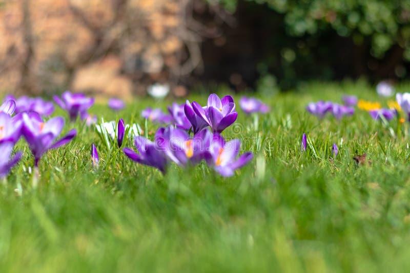 Fiori del croco in fioritura, posizione centrale tagliente, priorità alta vaga, fondo vago immagine stock
