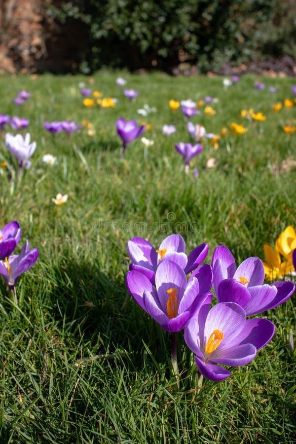 Fiori del croco in fioritura, priorità alta tagliente, fondo vago fotografie stock