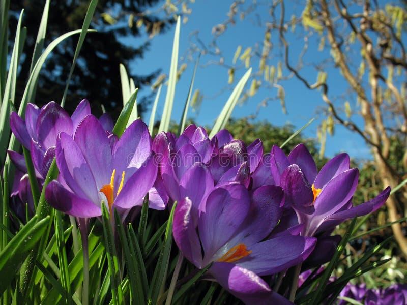 Fiori del croco in flower-bed fotografia stock
