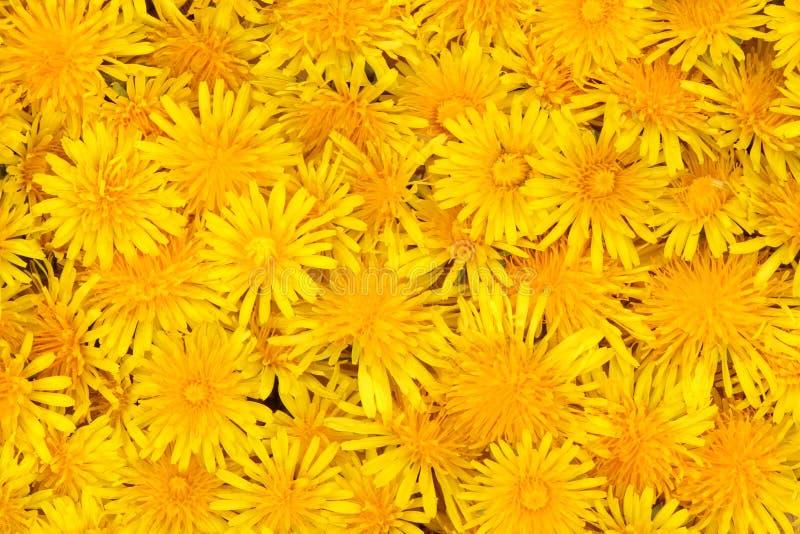 fiori del dente di leone immagine stock libera da diritti