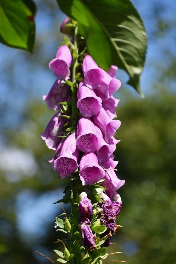 Fiori del digitalis purpurea nel giardino immagine stock