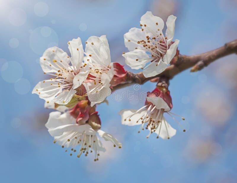 Fiori del fiore dell'albicocca immagine stock libera da diritti
