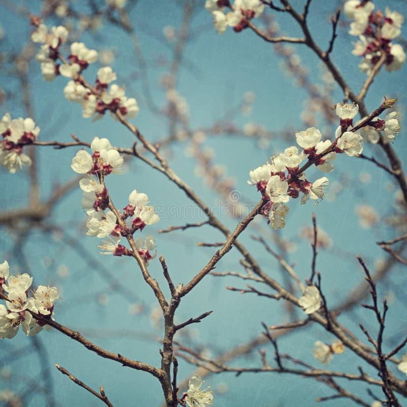 Fiori del fiore dell'albicocca fotografia stock libera da diritti