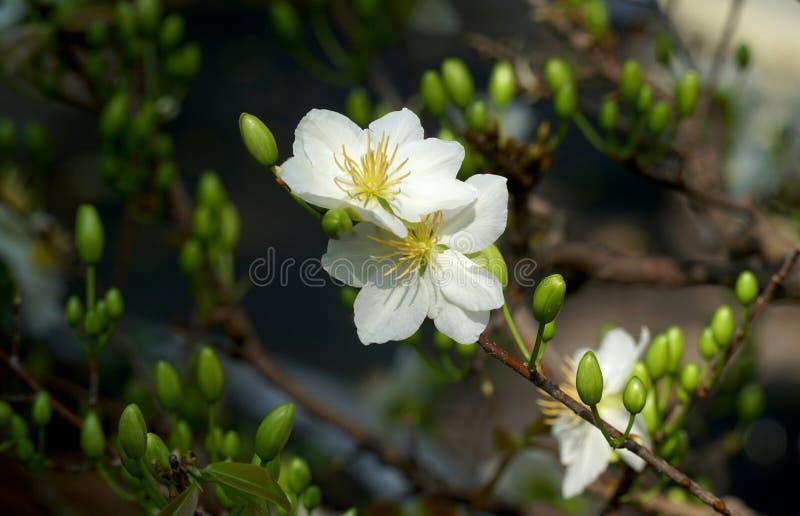 Fiori del fiore dell'albicocca bianchi nella città Tet Vietnam di Ho Chi Minh di festa del mercato fotografie stock