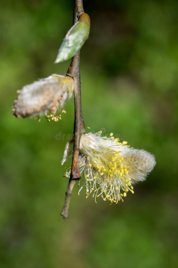 Fiori del fiore della fioritura dell'albero bei in primavera fotografie stock libere da diritti