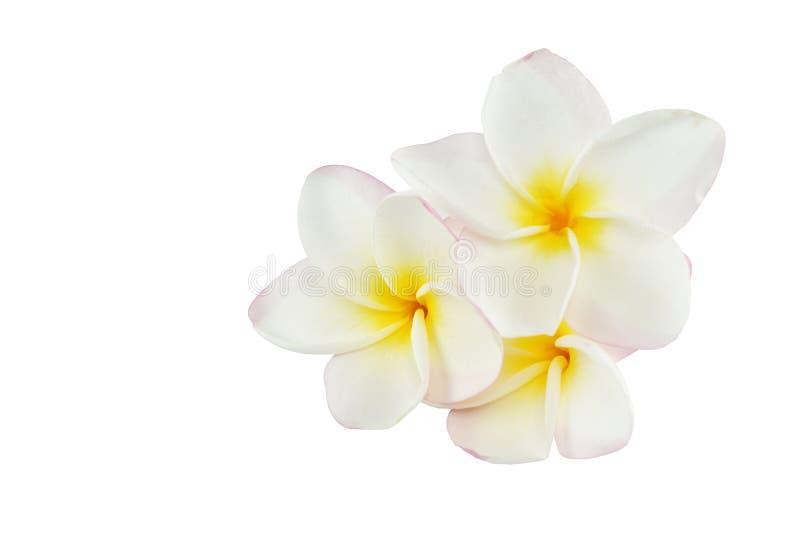 Fiori del frangipane su fondo bianco fotografia stock libera da diritti