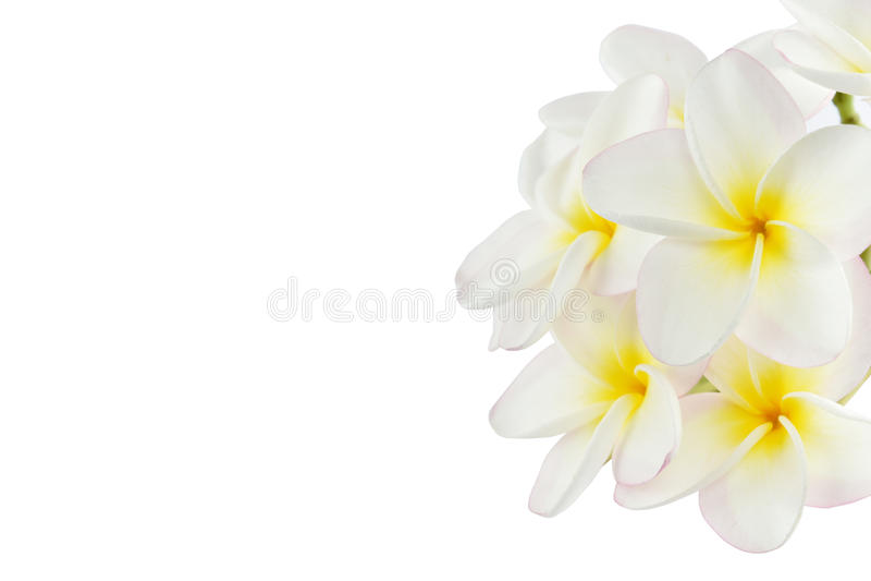 Fiori del frangipane su fondo bianco fotografia stock