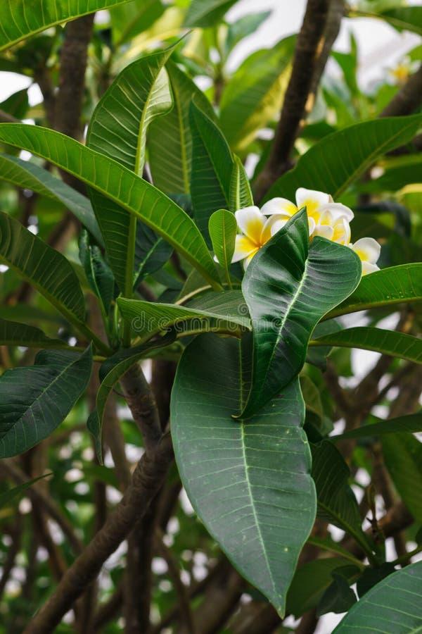 Fiori del frangipane su un cespuglio verde immagini stock libere da diritti