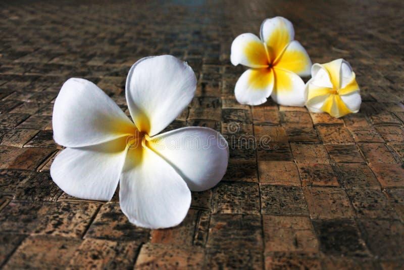 Fiori del frangipane sul compagno del Fijian fotografie stock