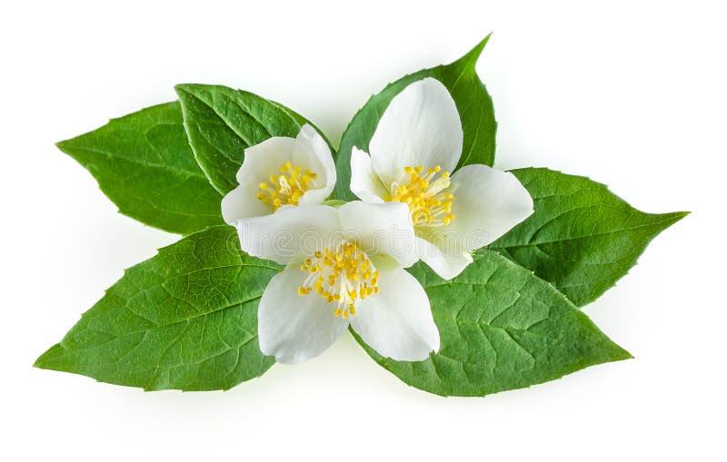 Fiori del gelsomino con le foglie su bianco immagine stock libera da diritti